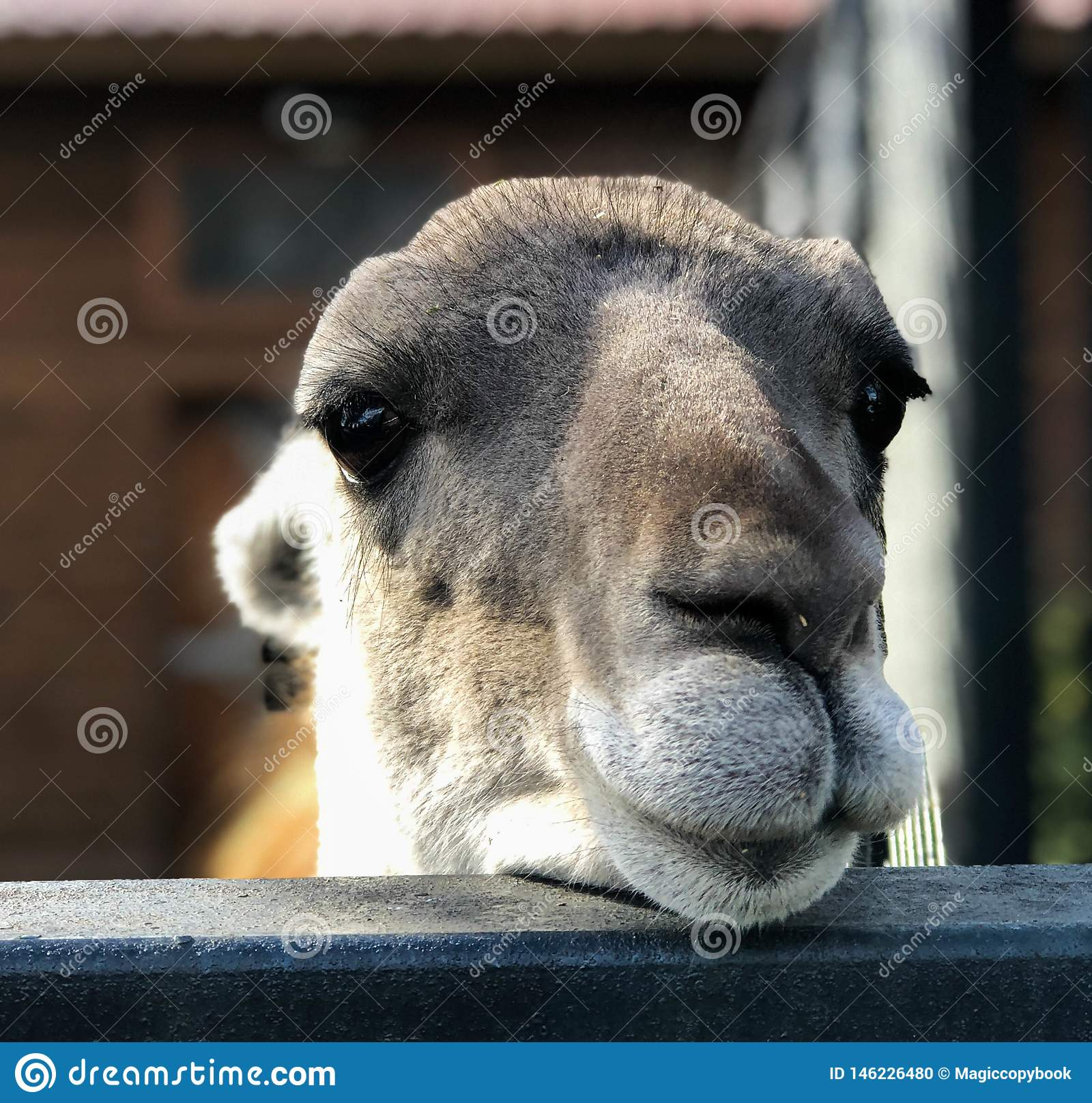 Il fronte di un lama n dell alpaga