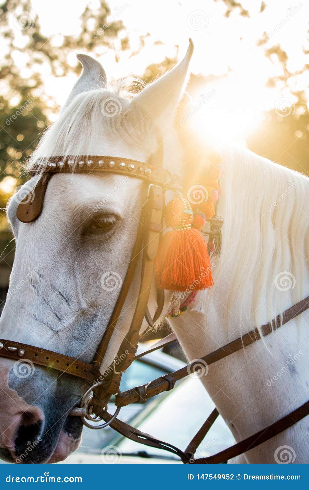 Il fronte e la criniera del bello stallone bianco