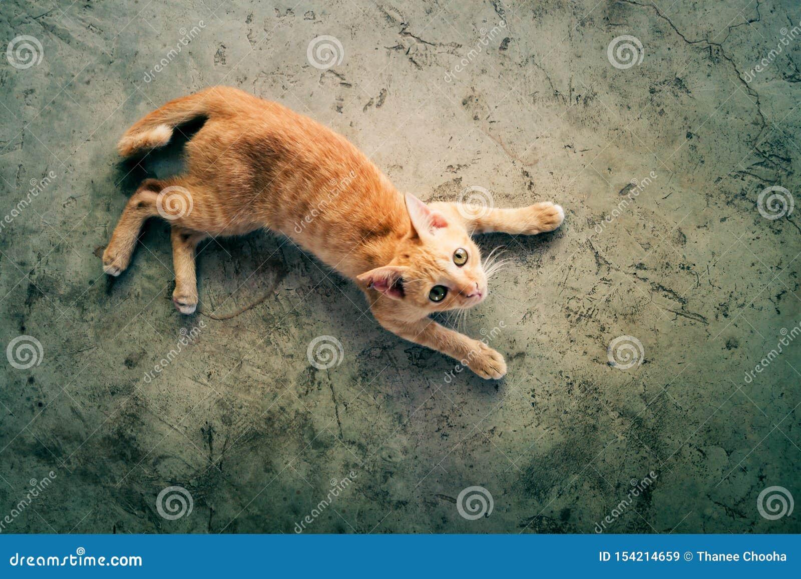 Il gatto arancio sta trovandosi sul pavimento di calcestruzzo e sta esaminando la cima Foto di vista superiore con lo spazio in b