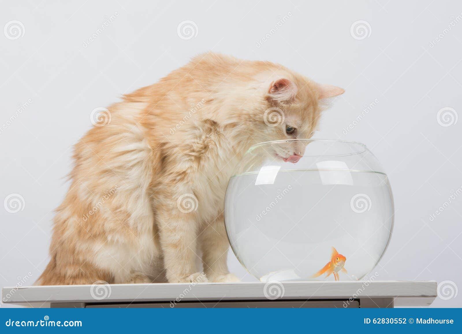 Il gatto beve l 39 acqua dall 39 acquario con il pesce rosso for Pesce gatto acquario