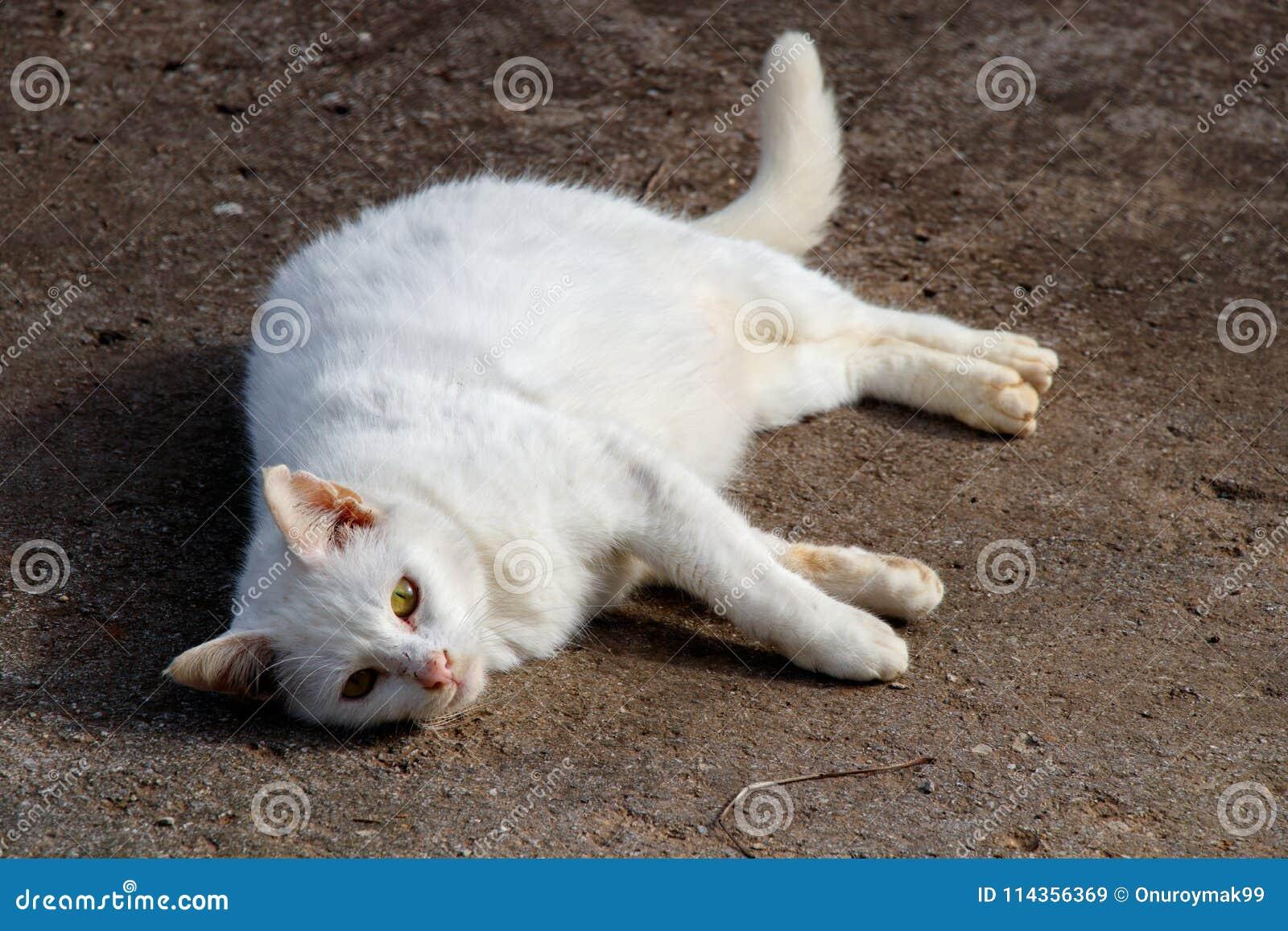 Il gatto bianco fa riposarsi gli occhi gialli blu differenti il resto
