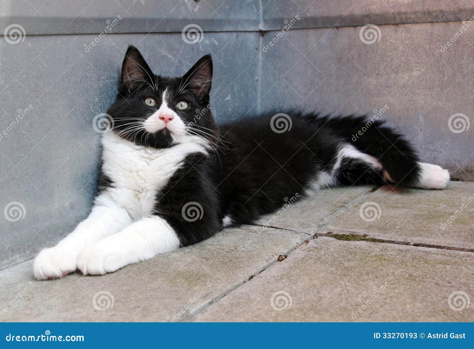 Il Gatto Norvegese In Bianco E Nero Della Foresta Immagine Stock