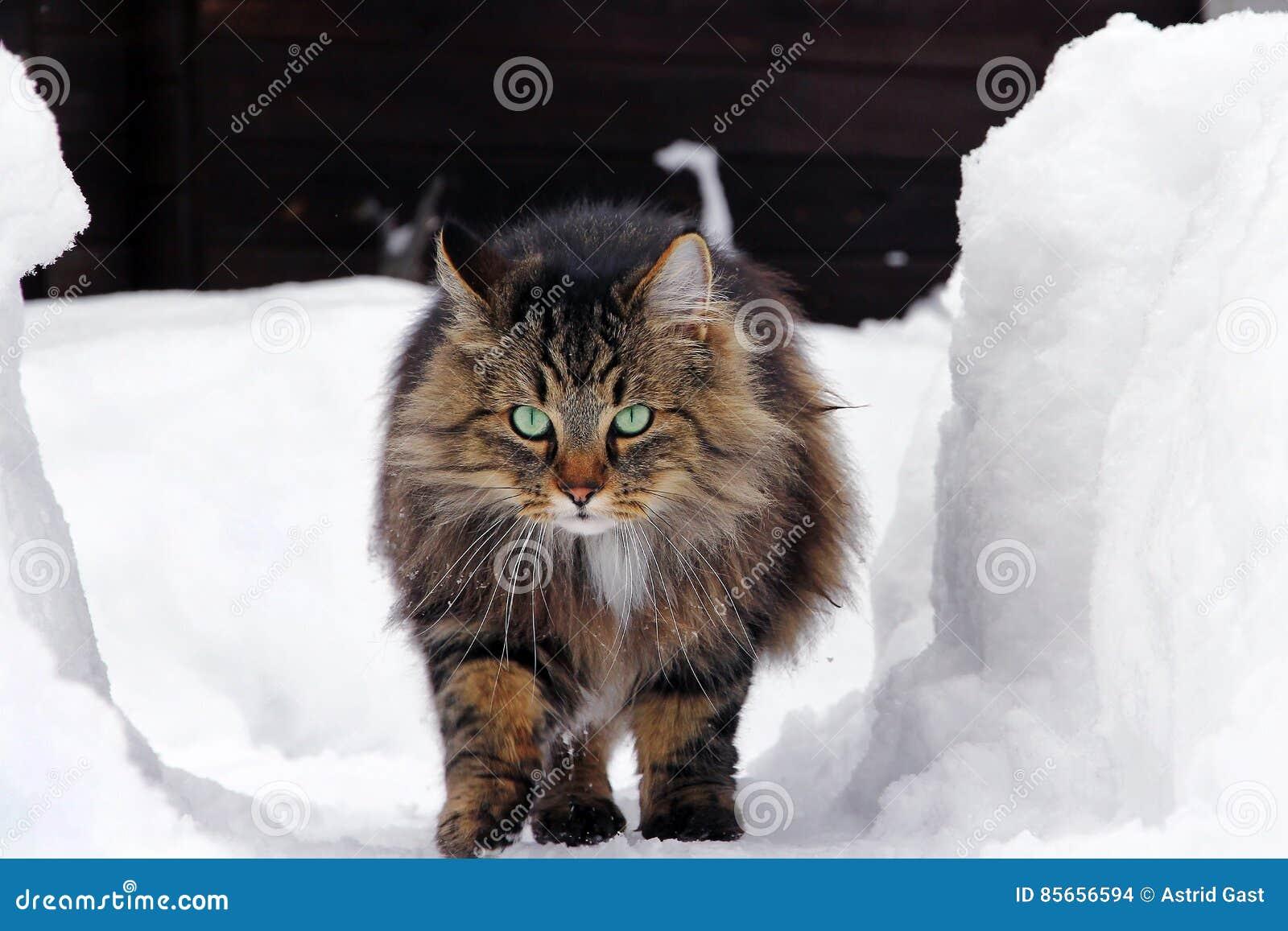 Il Gatto Norvegese Della Foresta Passa Lalta Neve Fotografia Stock