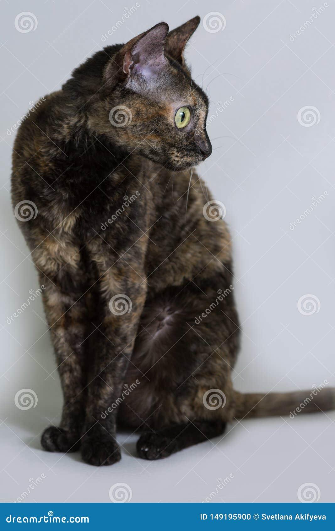 Il gatto riccio incantante Ural Rex si siede sul letto e sugli sguardi con i grandi occhi verdi al lato Tartaruga nera di colore