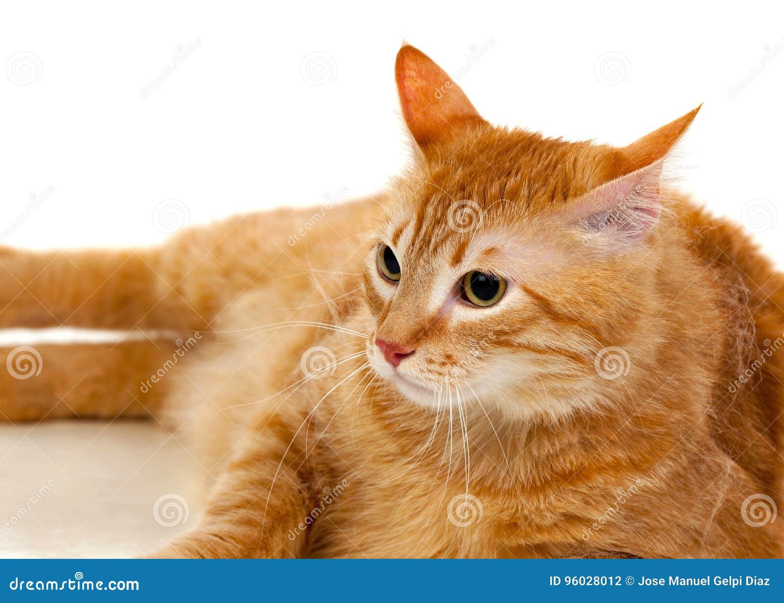 Il Gatto Rosso Adulto Con Supera In Peso Fotografia Stock Immagine