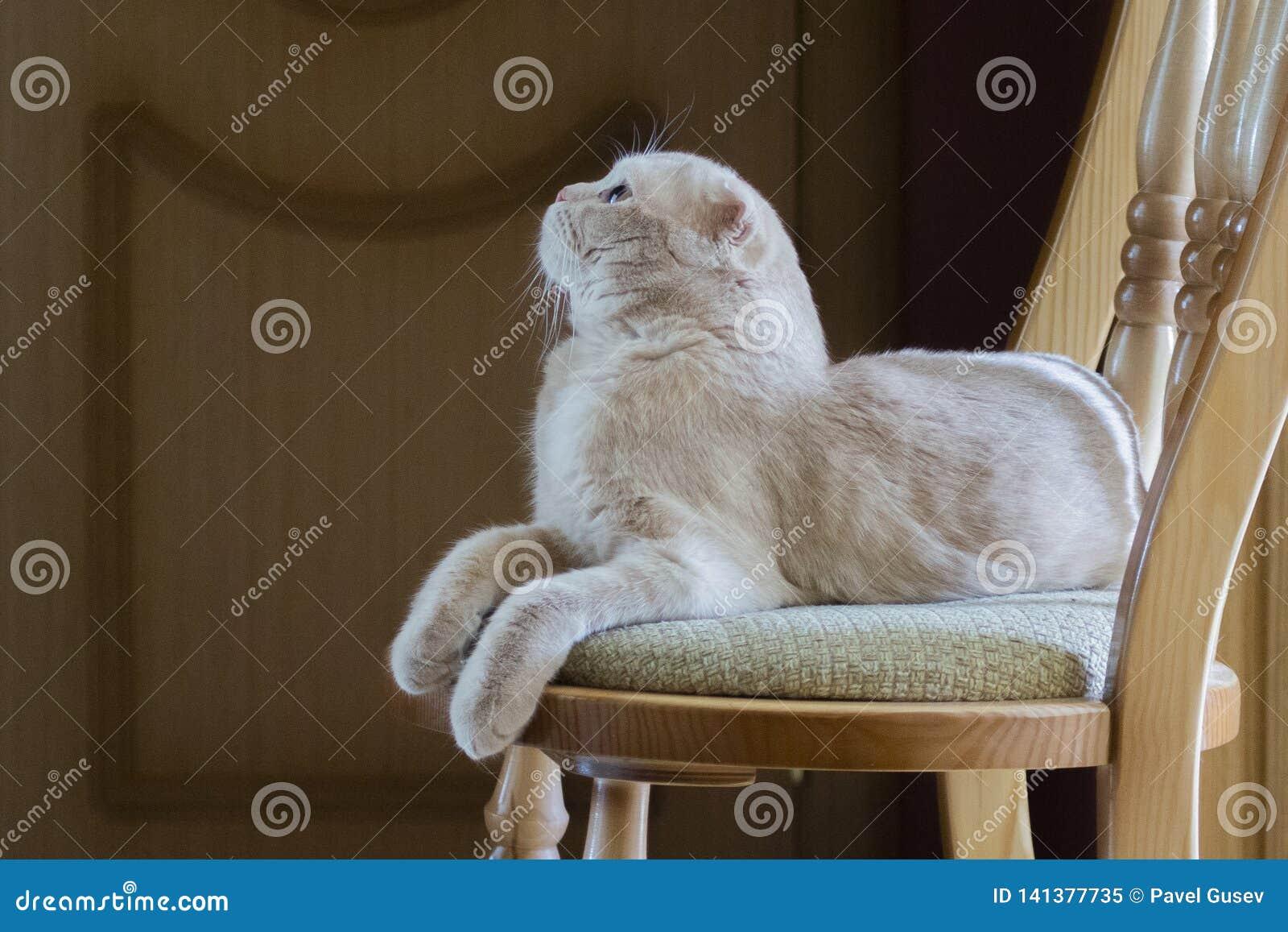 Il gatto si trova su una sedia e cerca