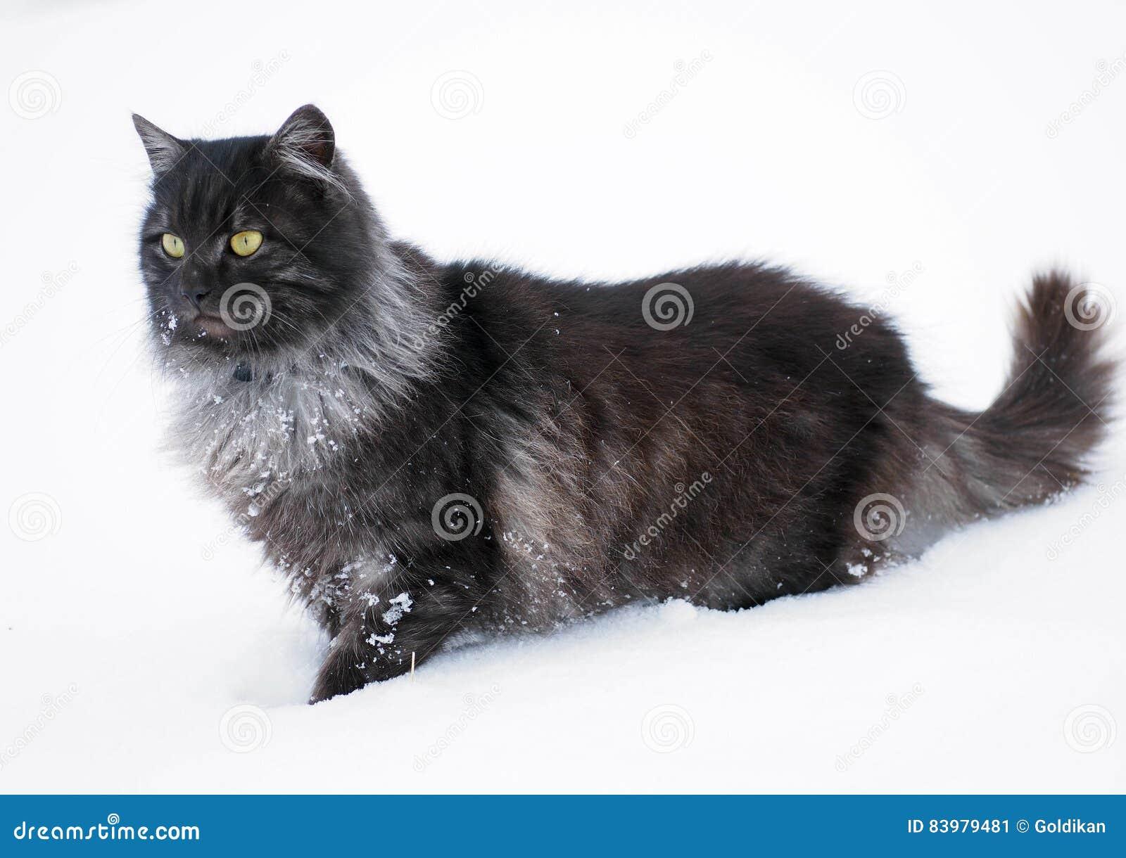 Il Gatto Siberiano Nero Su Neve Profonda Immagine Stock Immagine