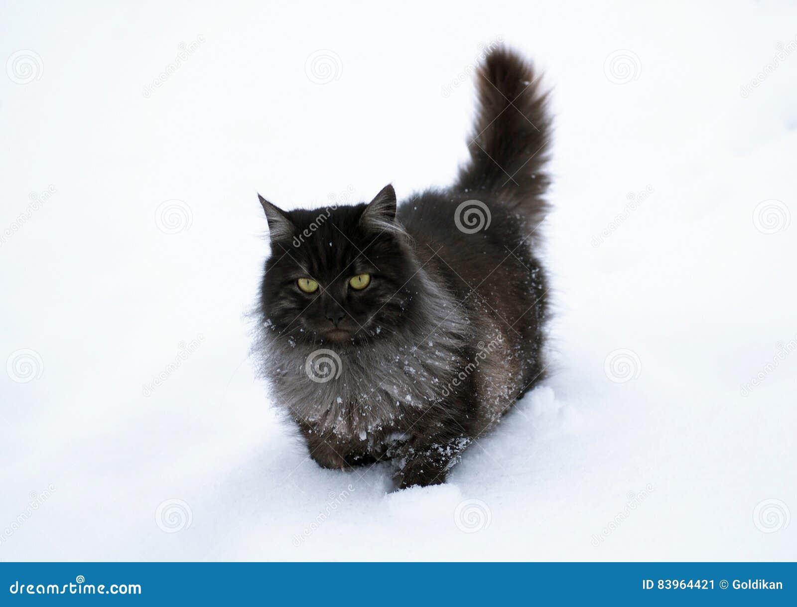 Il Gatto Siberiano Nero Va Su Neve Profonda Immagine Stock