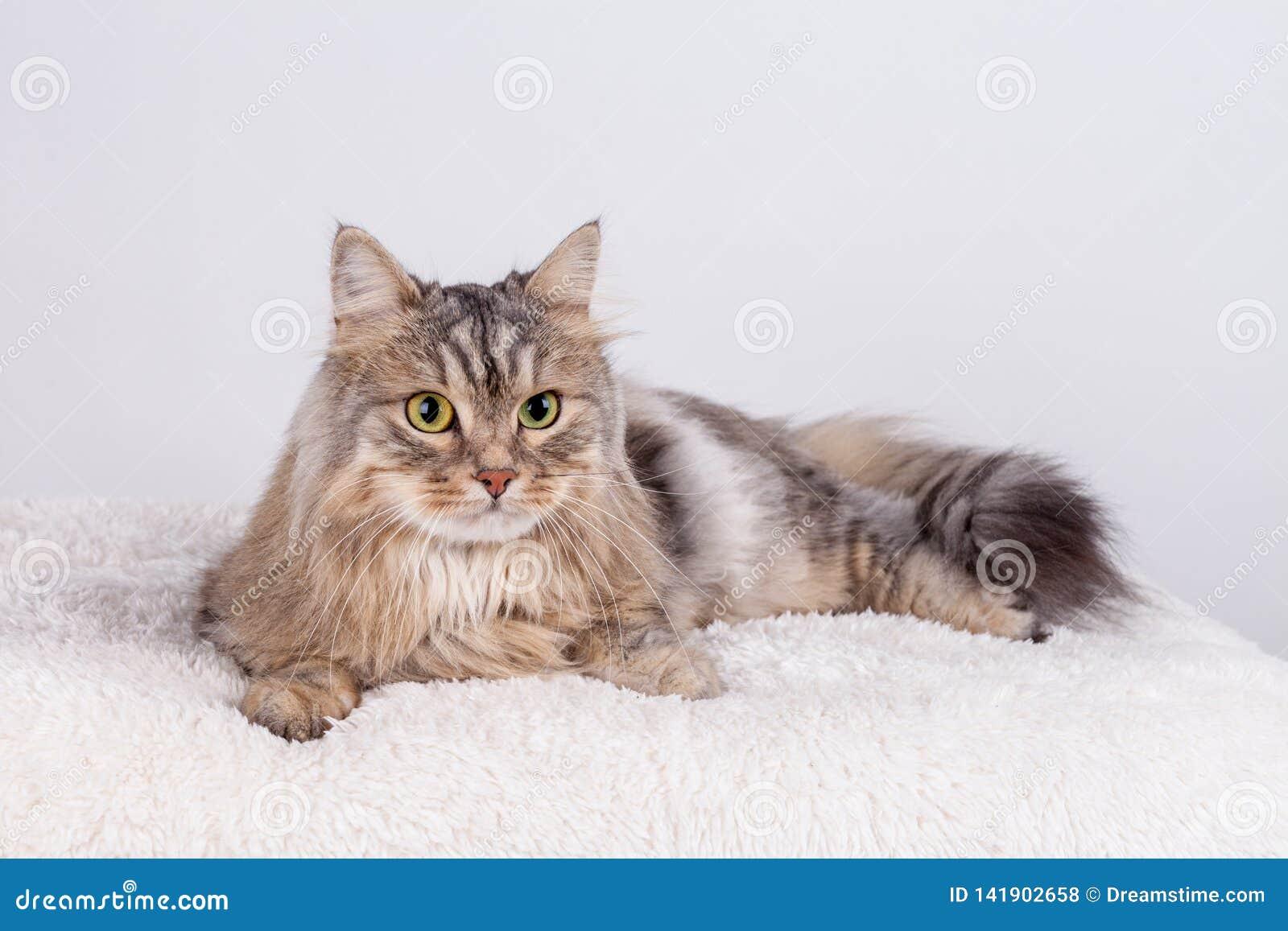 Il gatto siberiano sta sembrando anteriore