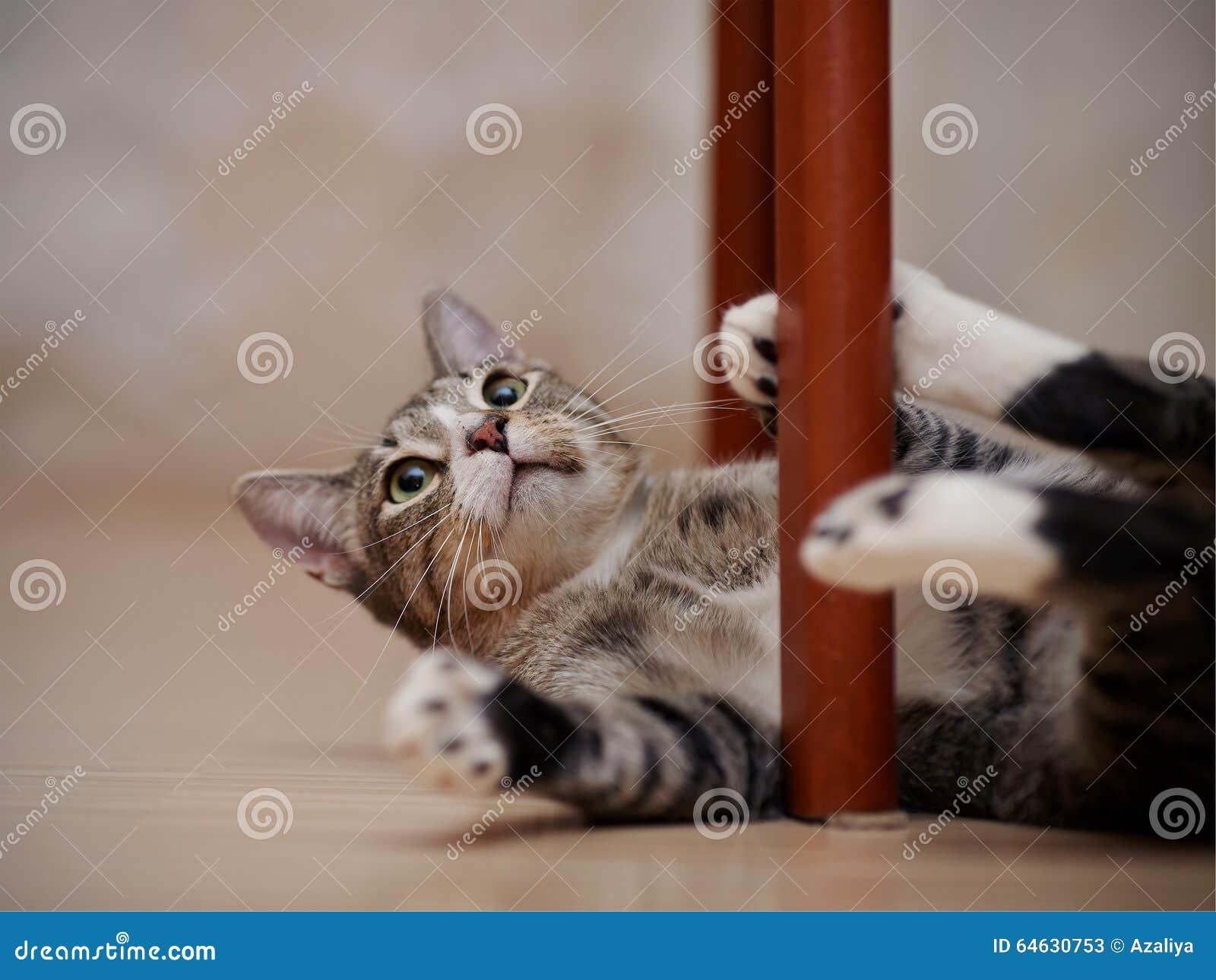 Il Gatto A Strisce Con I Giochi Bianchi Delle Zampe Immagine Stock