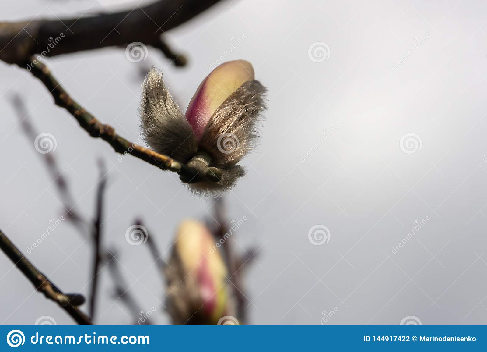 Il germoglio lanuginoso della magnolia bianca si accinge a aperto Miracolo aspettante soleggiato di giorno di molla