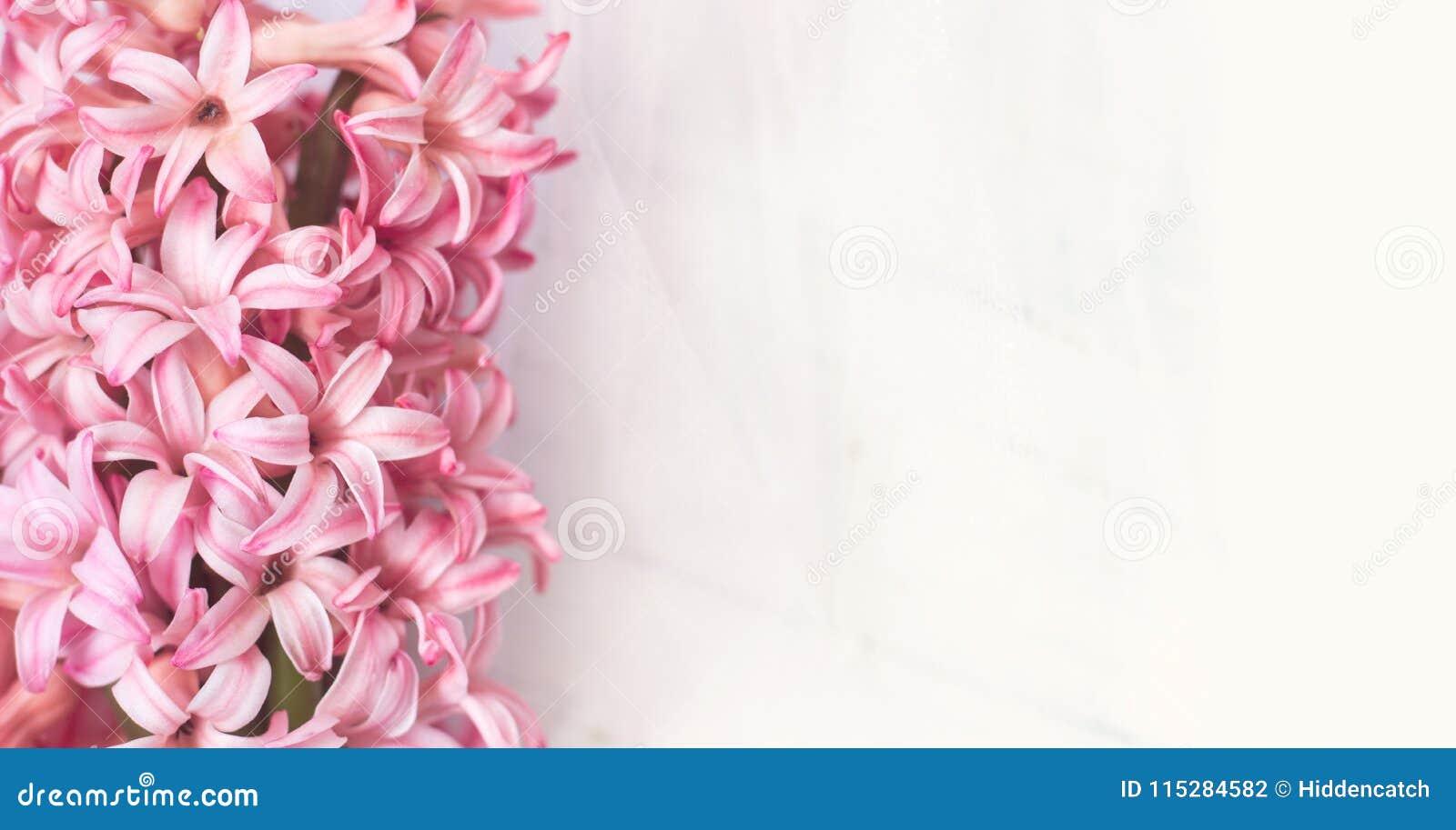 Il giacinto rosa fiorisce su fondo bianco, con lo spazio della copia per y