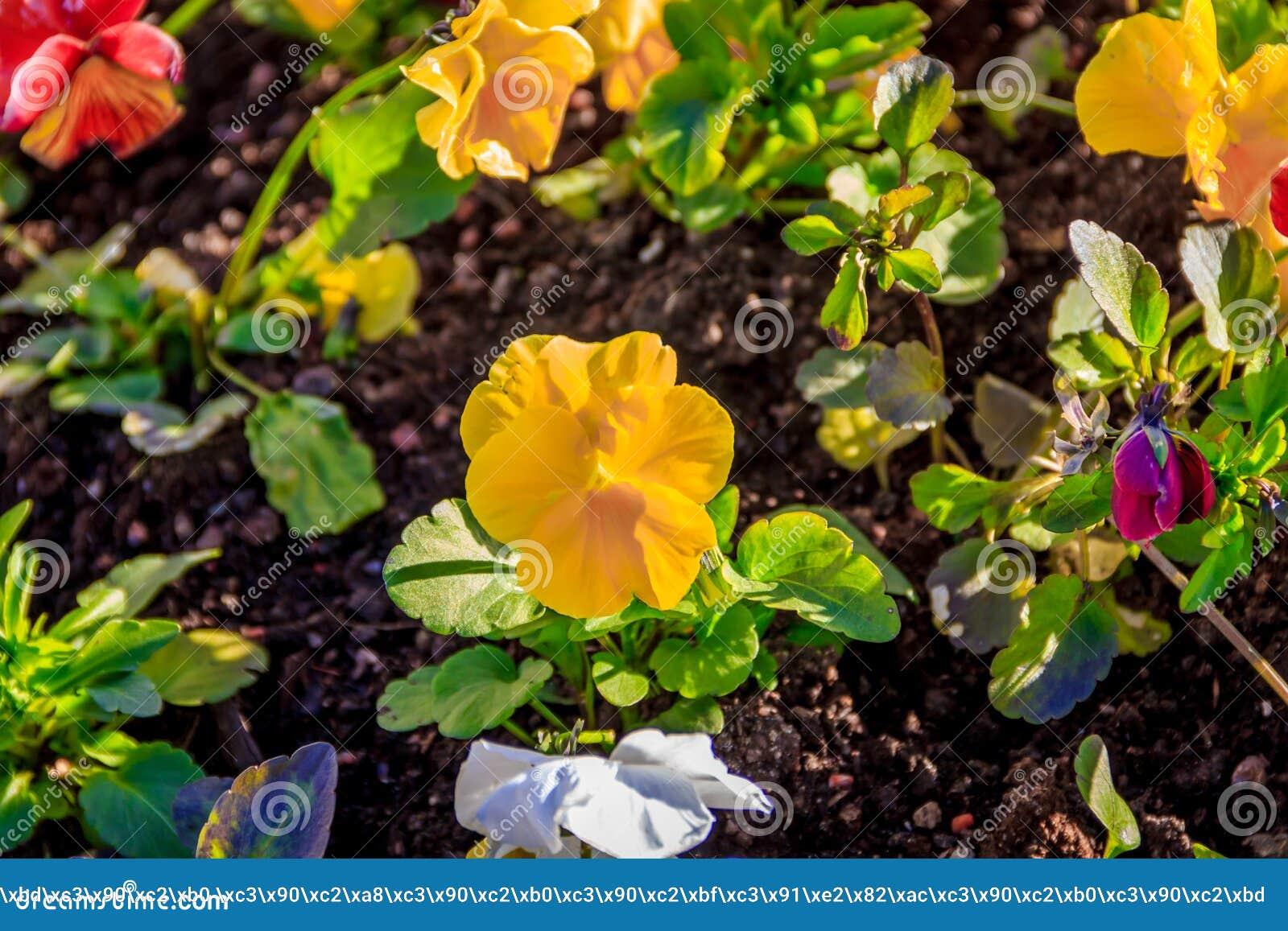 Il giallo fiorisce le viole del pensiero