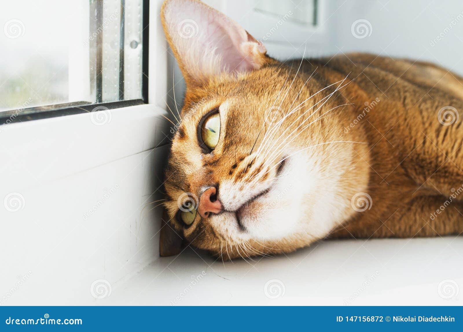 Il giovane gatto abissino sta sognando