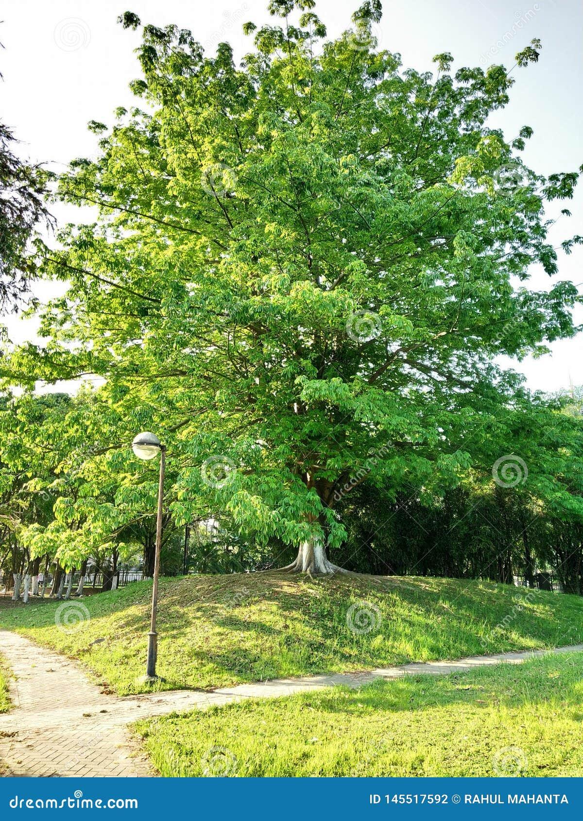 Il grande albero in parco guarda così bello ed albero, parte anteriore che di s una foto del palo veduta guarda così attraente