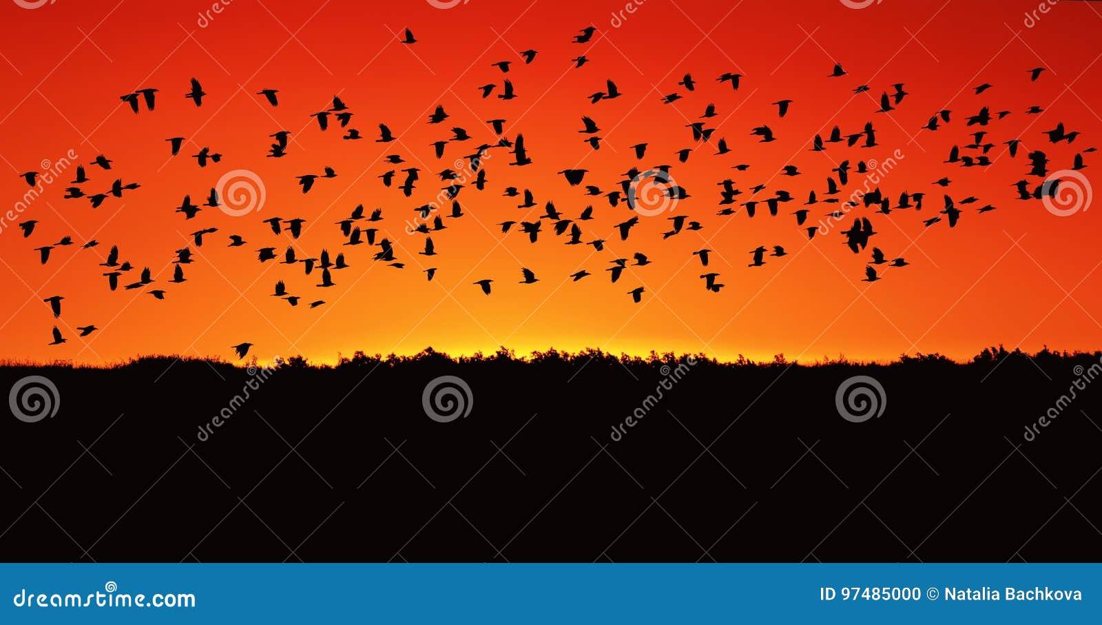 Il grande stormo del nero rooks il volo contro il rosso luminoso di Th