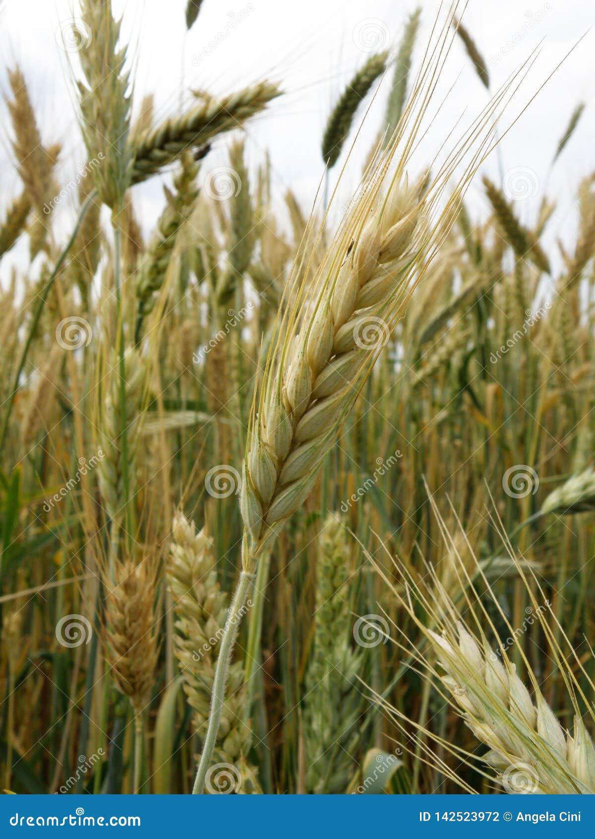 Il grano ed il Wheatear si chiudono su al campo
