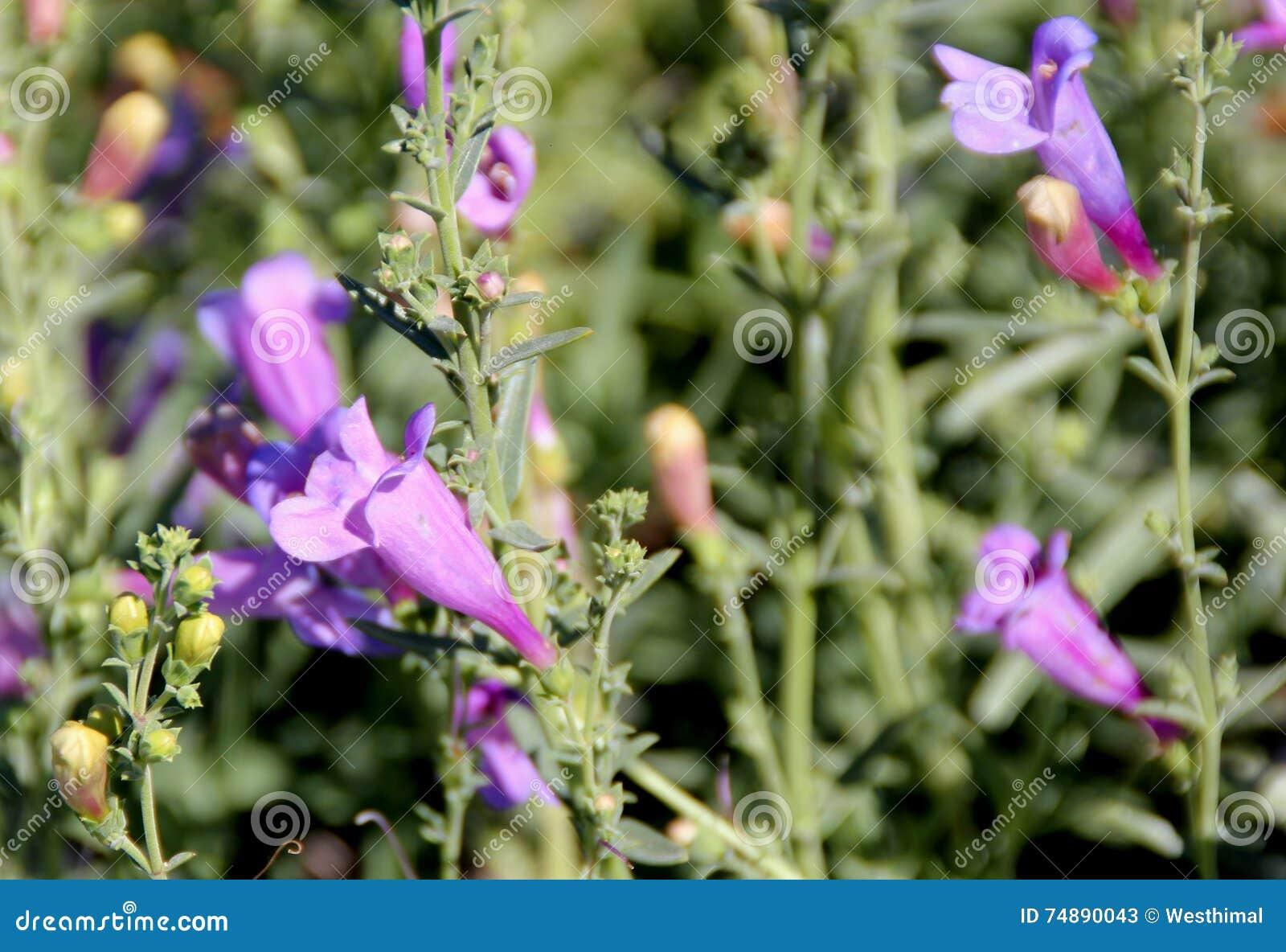 Il heterophyllus  margarita del Penstemon COLPISCE , erpice rincalzatore blu