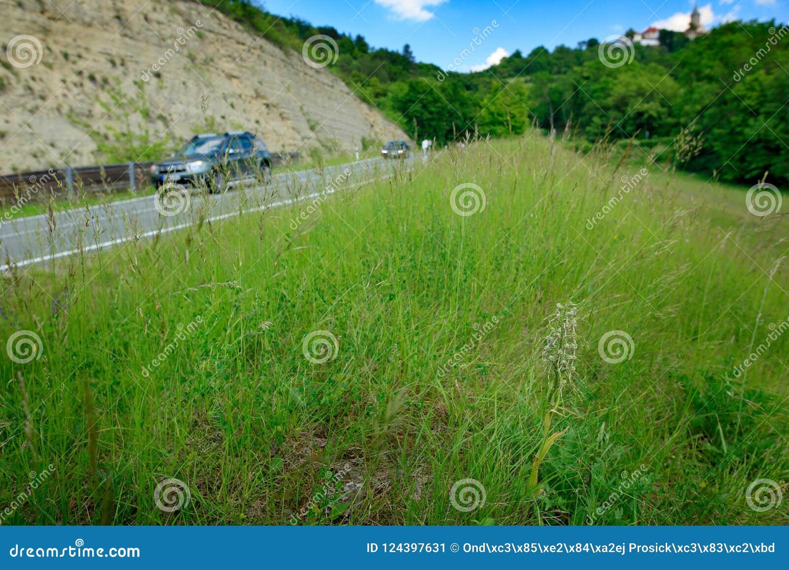 Il hircinum del Himantoglossum, orchidea di lucertola, fiorisce piante selvatiche vicino alla strada con l automobile, Jena, Germ