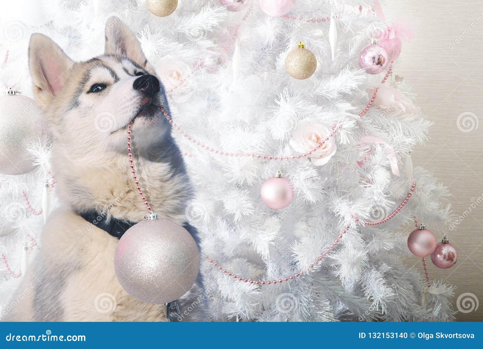 Il husky divertente del cucciolo contribuisce a decorare l albero di Natale