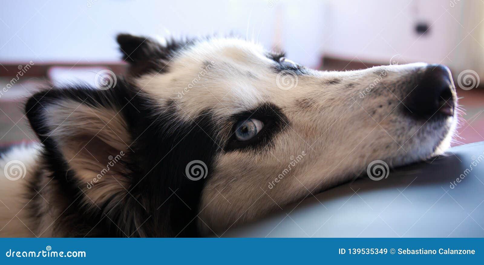 Il husky siberiano aspetta ed osserva