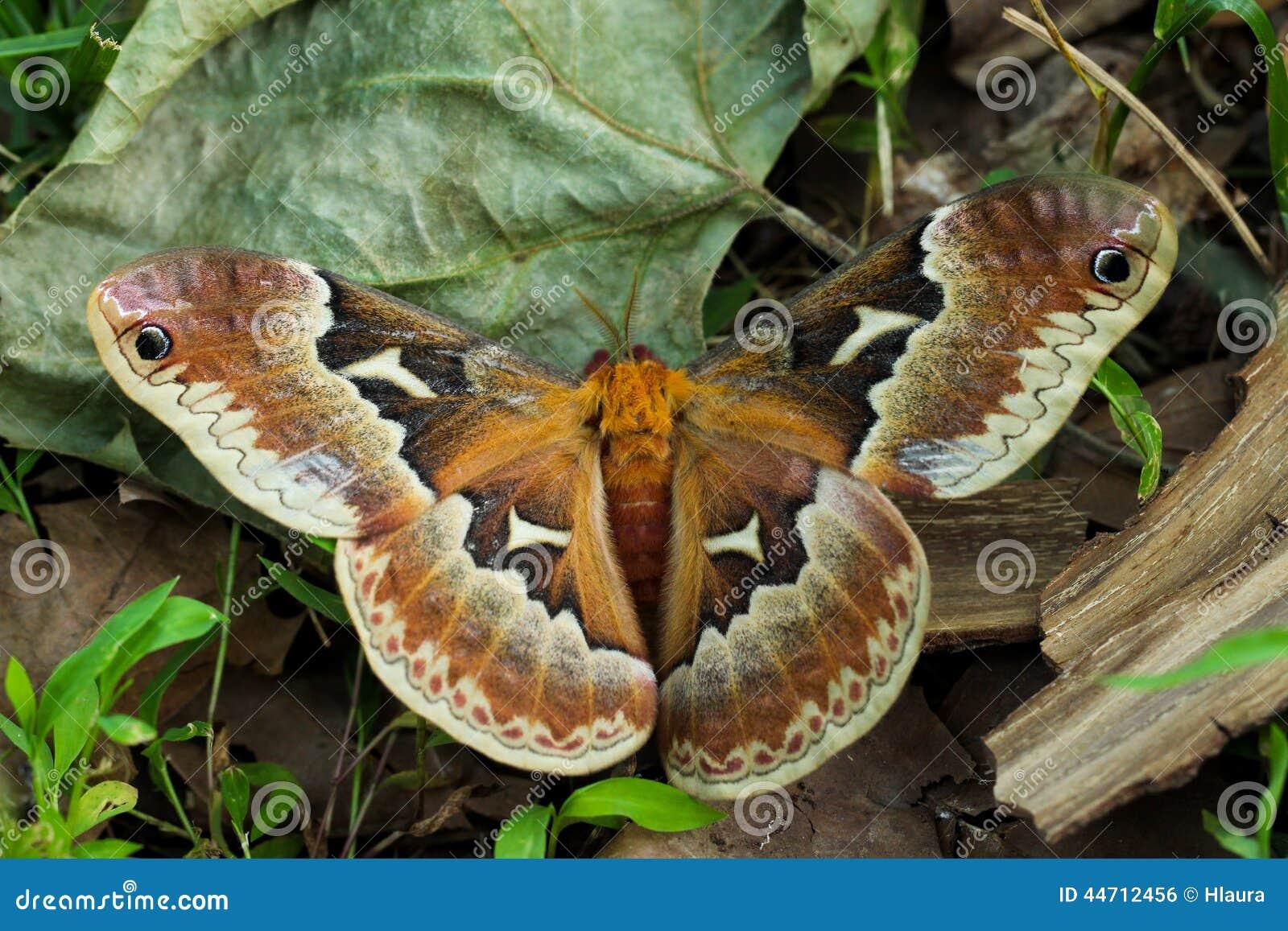 Il lepidottero di seta del Glover; Hyalophora Gloveri