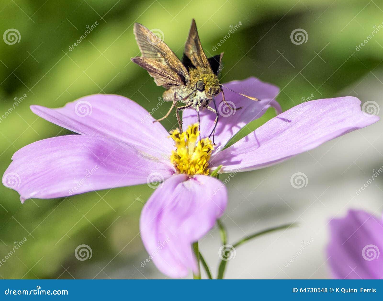 Il lepidottero gradisce la farfalla sul fiore porpora