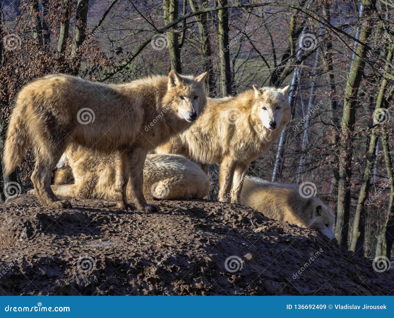 Il lupo artico, arctos di canis lupus, è un cacciatore temuto, vite nei pacchetti