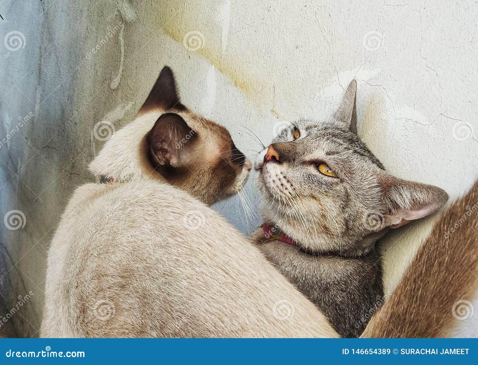 Il maschio ed i gatti femminili stanno baciando vicino alla vecchia parete del gesso, schietta amore del concetto animale