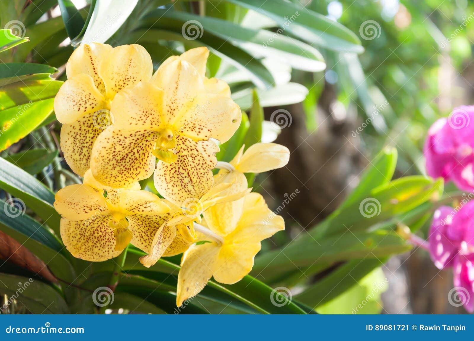 Il mazzo delle orchidee gialle fiorisce vicino su nell ambito di