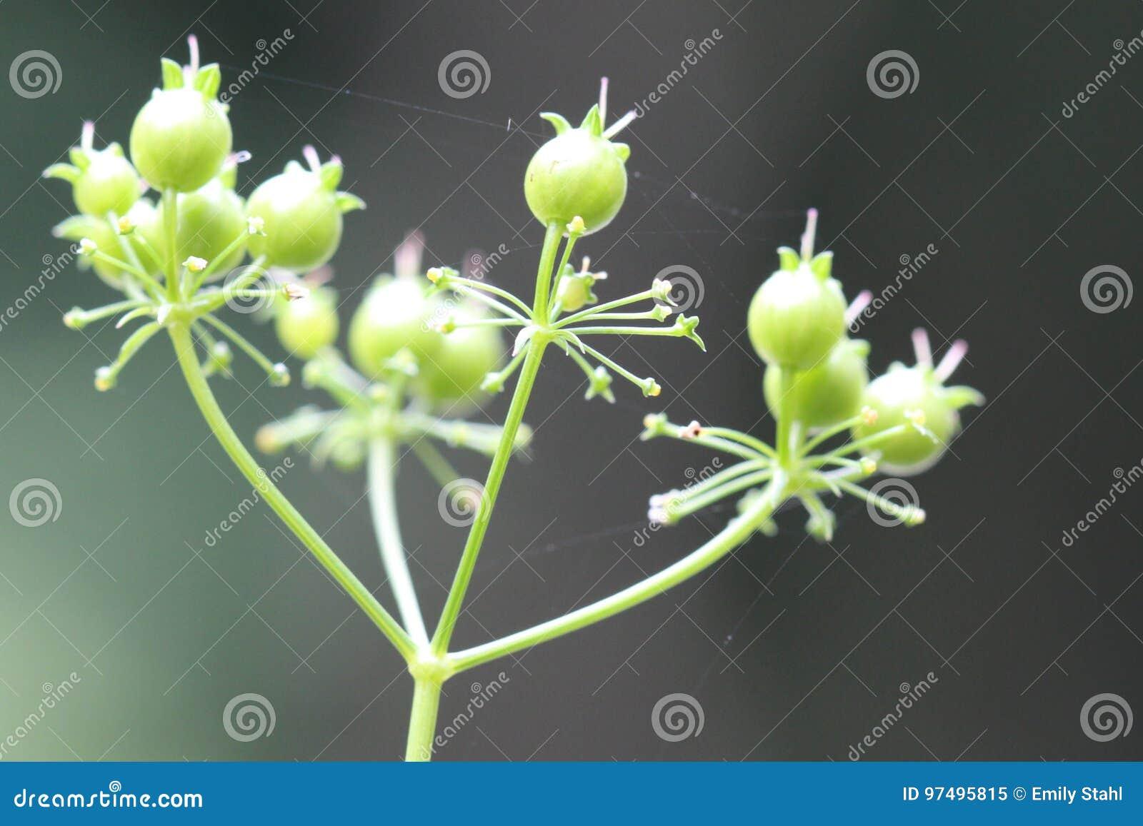 Il mazzo di coriandolo semina i baccelli