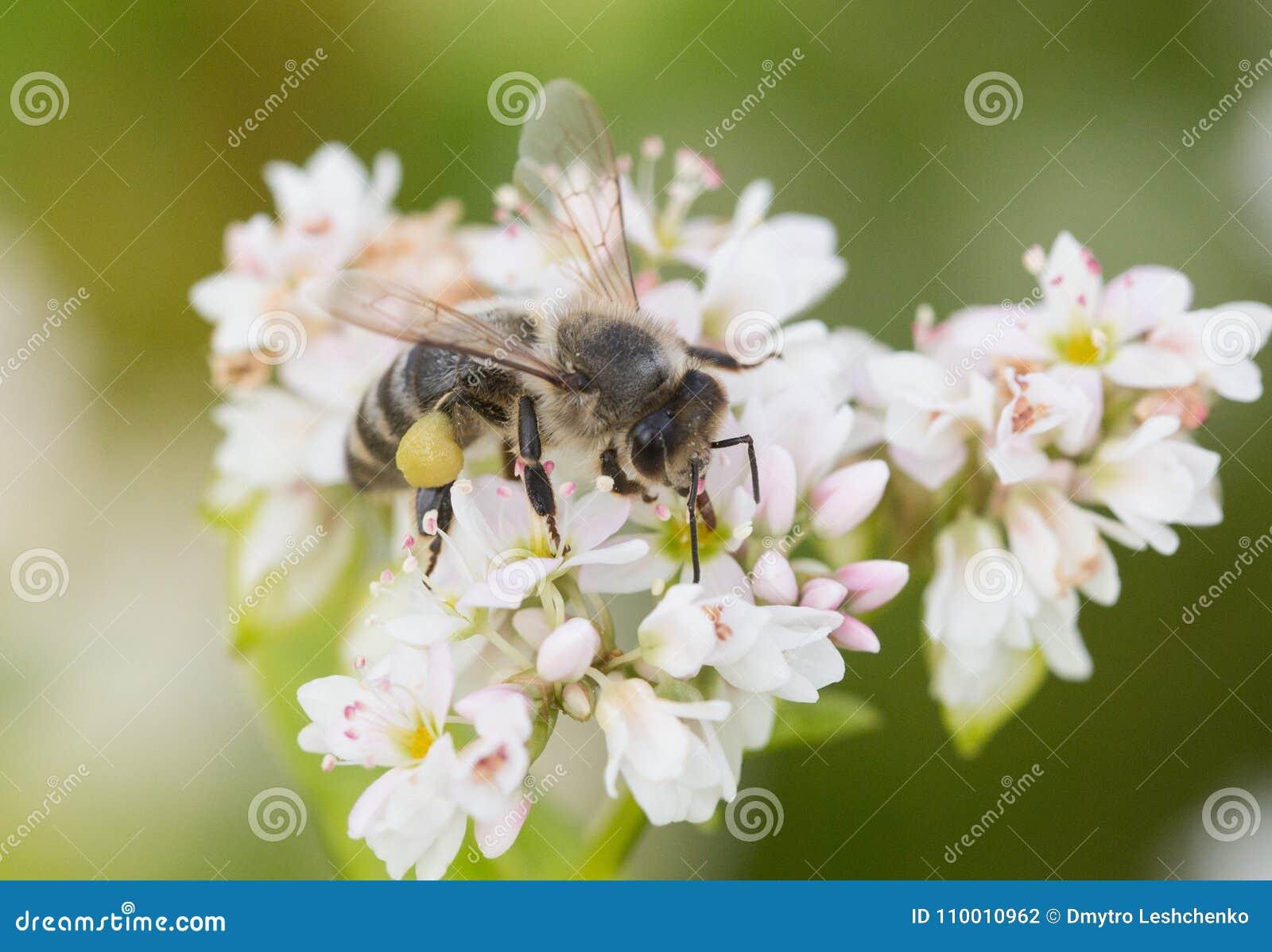 Il miele, bellezza, floreale, fondo, petalo, bianco, natura, ripugnante, polline, campo, fiore dell ape, soleggiato, proboscide,