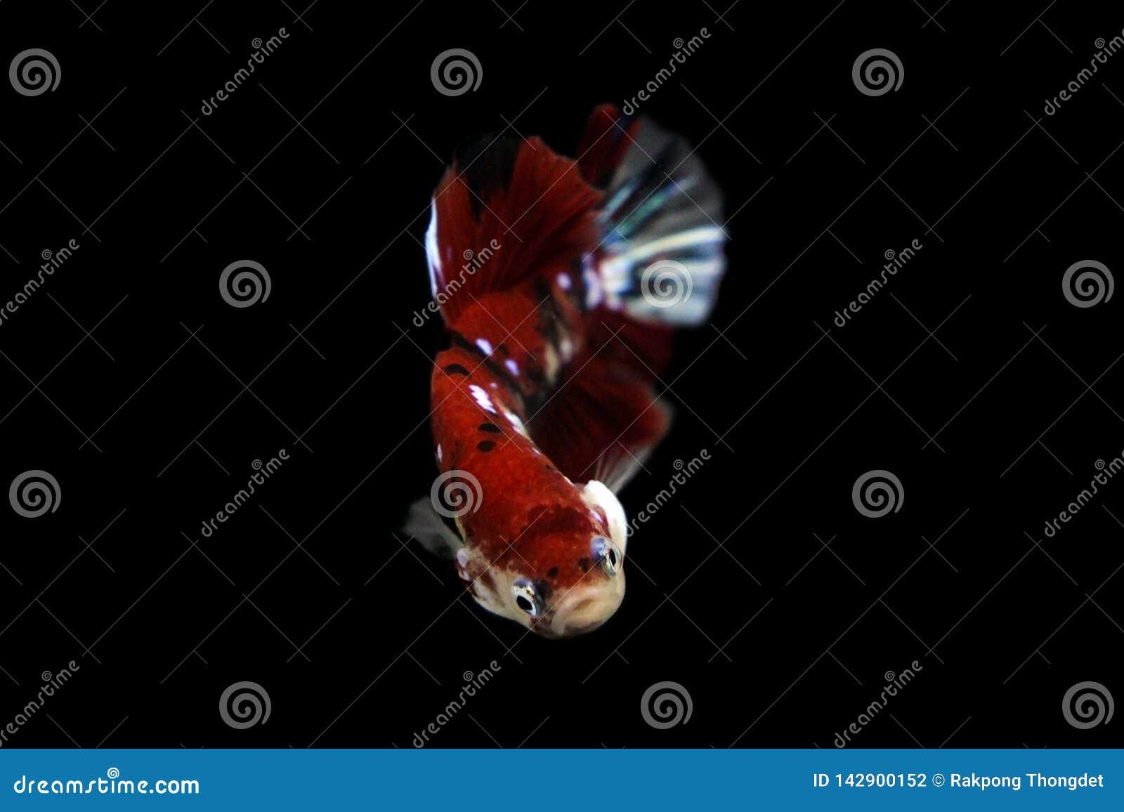Il momento commovente bello di rosso di koi del pesce di betta del Siam in Tailandia su fondo nero