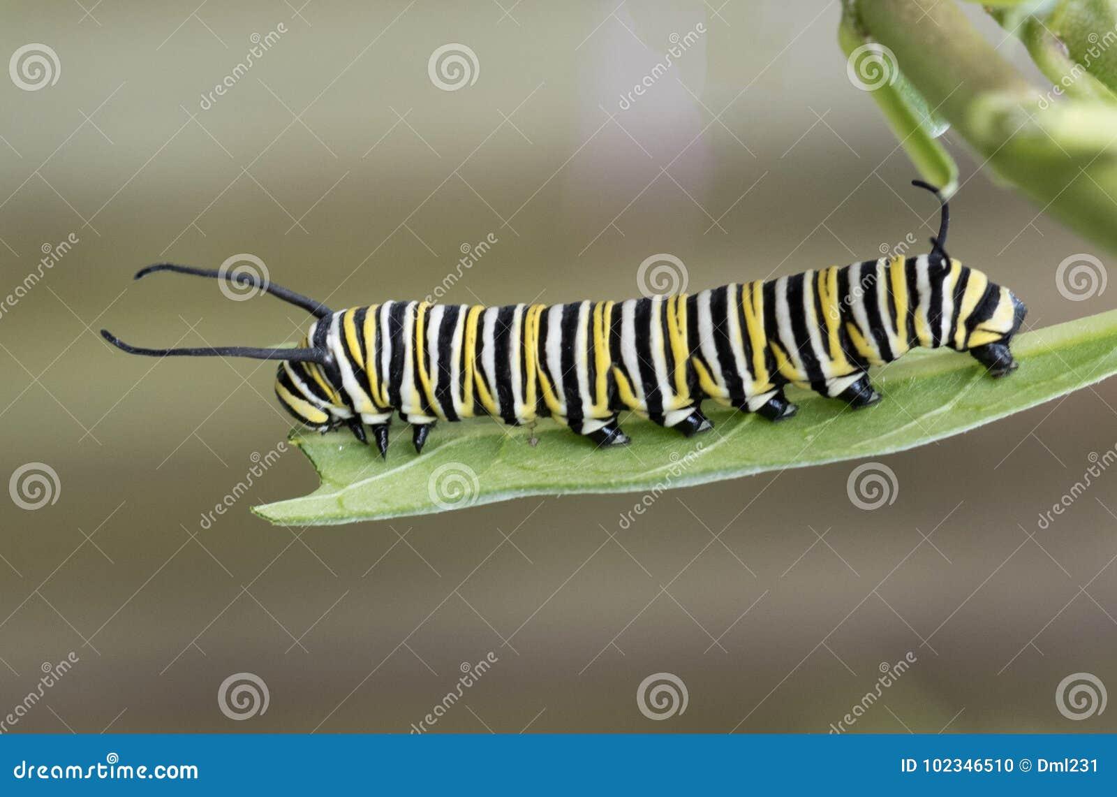Il monarca Caterpillar sul Milkweed copre di foglie
