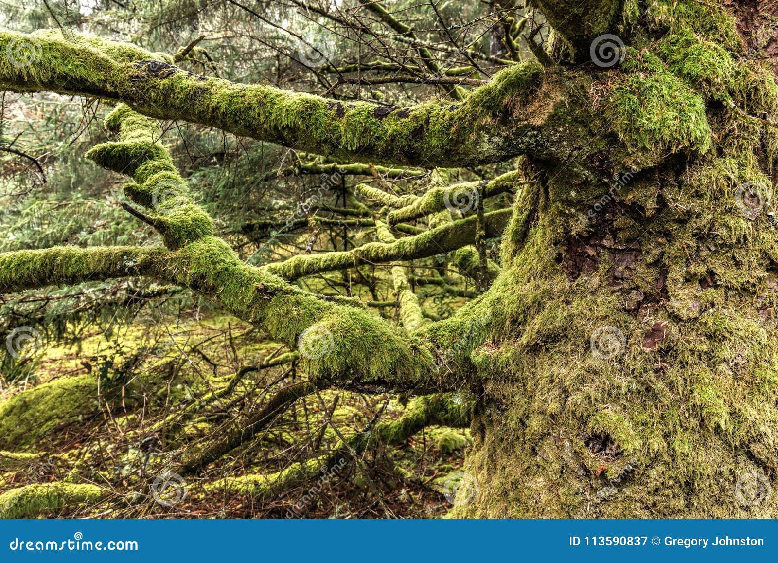 Il muschio ha coperto gli arti sul vecchio albero