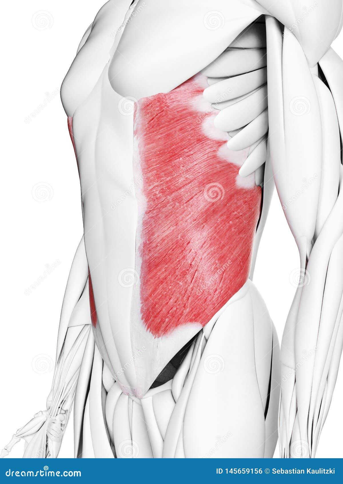 Il muscolo obliquo esterno
