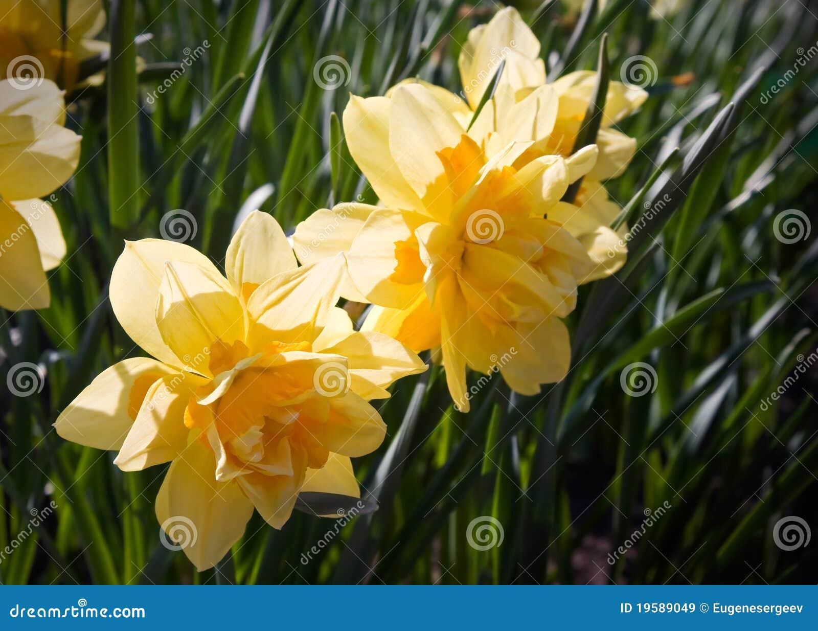 Il narciso giallo fiorisce la macro immagini stock libere for Narciso giallo