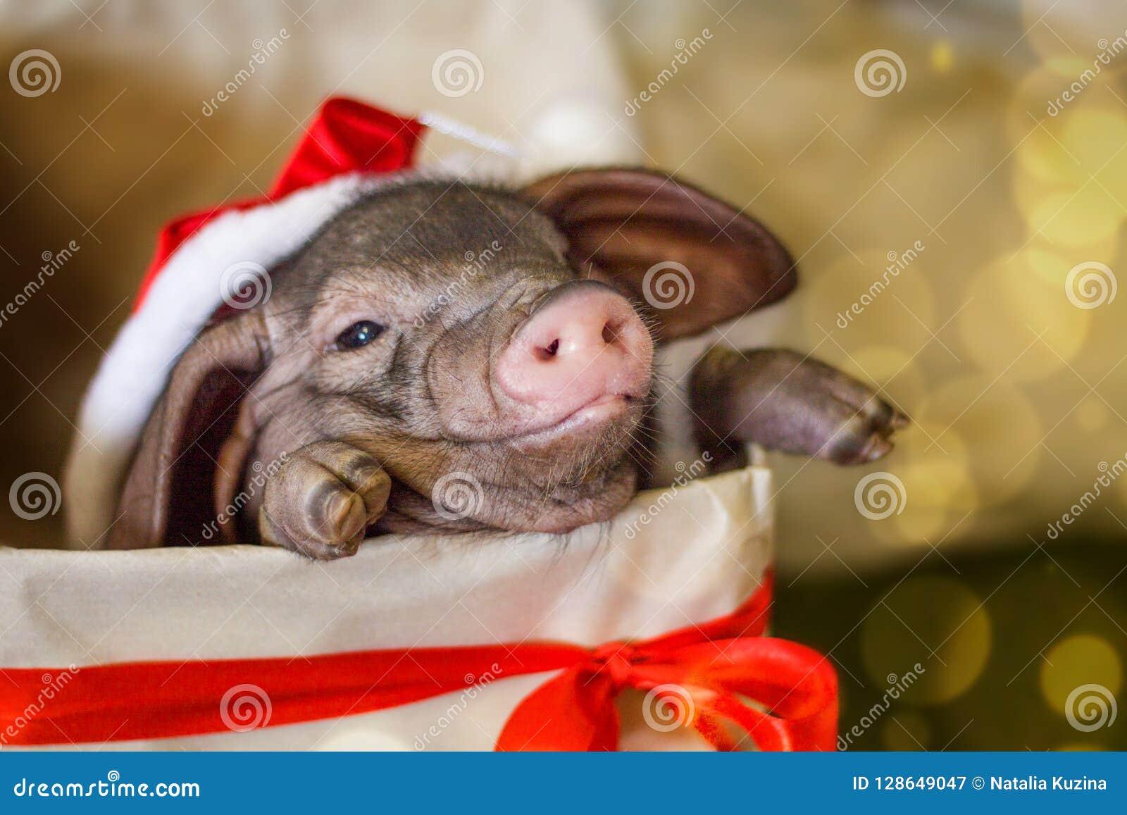 Il Natale e la carta del nuovo anno con il maiale neonato sveglio di Santa in regalo presentano la scatola Simbolo delle decorazi