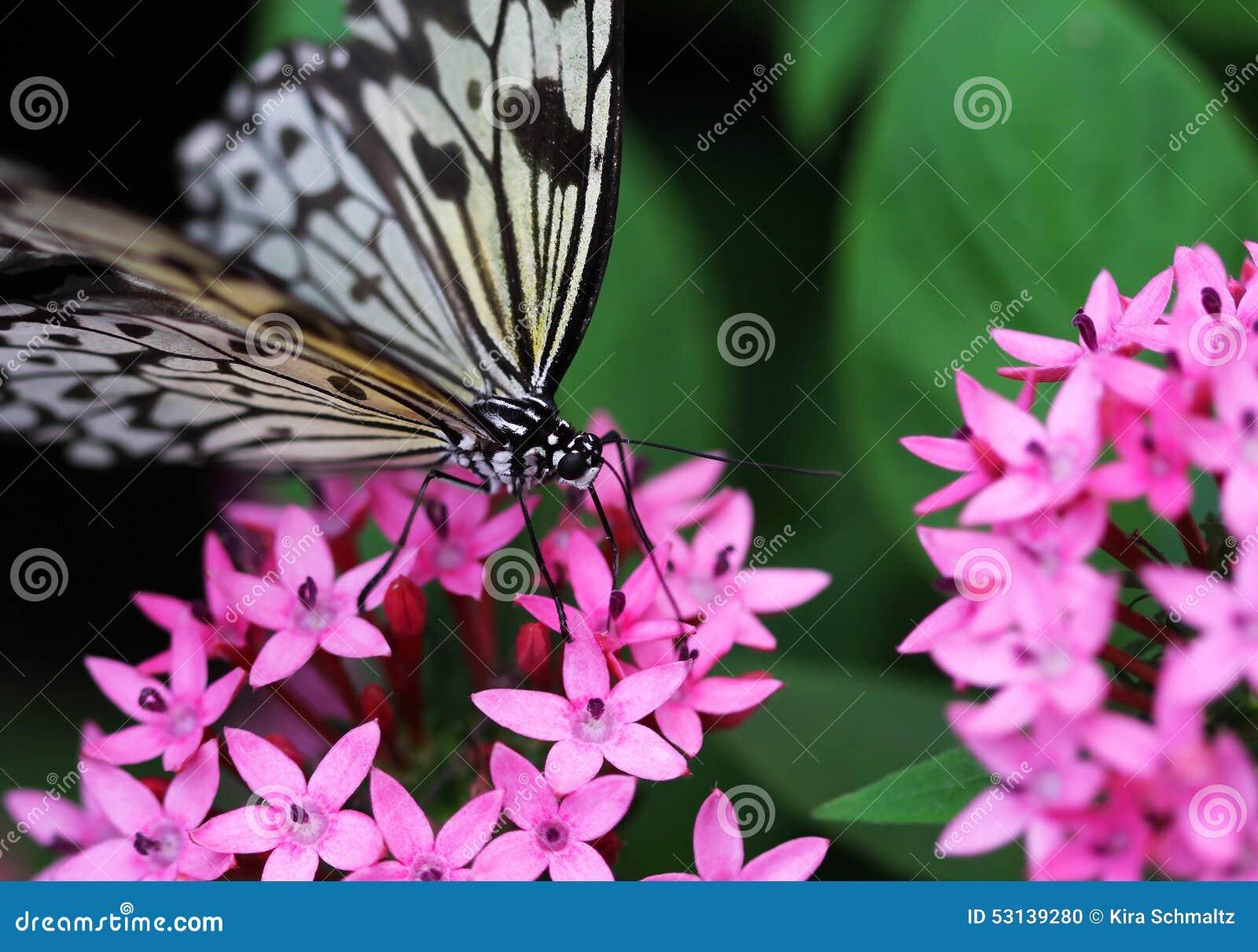Il nero blu con la farfalla bianca della banda che si siede sul fiore rosso