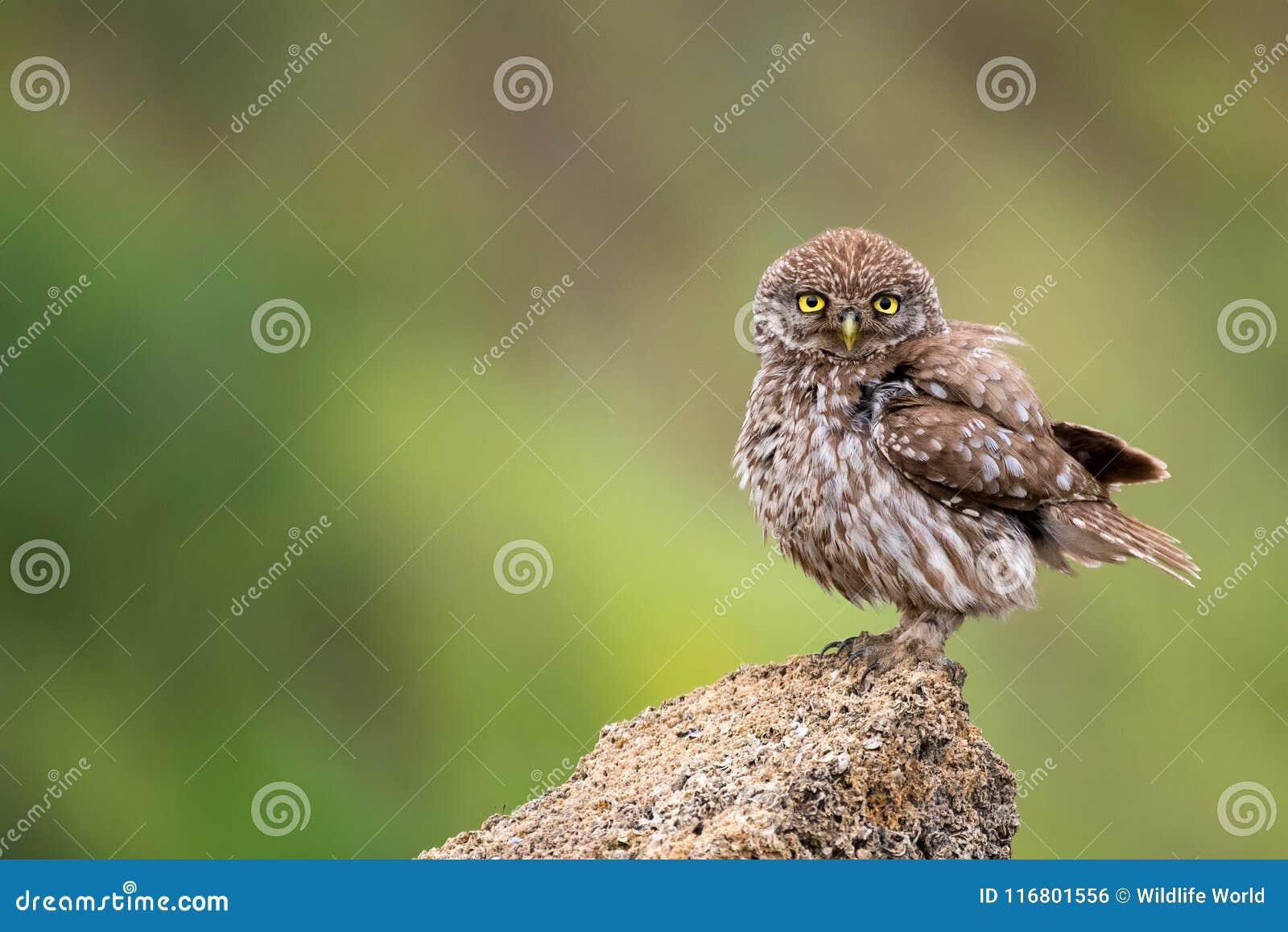 Il noctua delle atene della civetta che sta su una roccia su un fondo variopinto