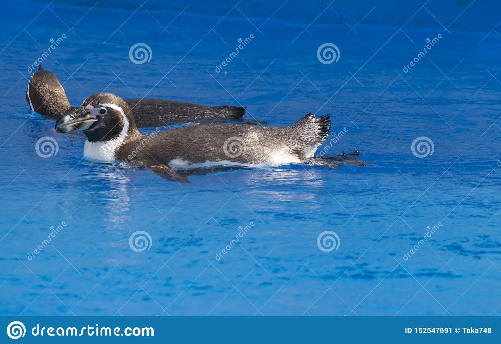 Il nuoto africano di demersus dello Spheniscus del pinguino sotto l acqua blu
