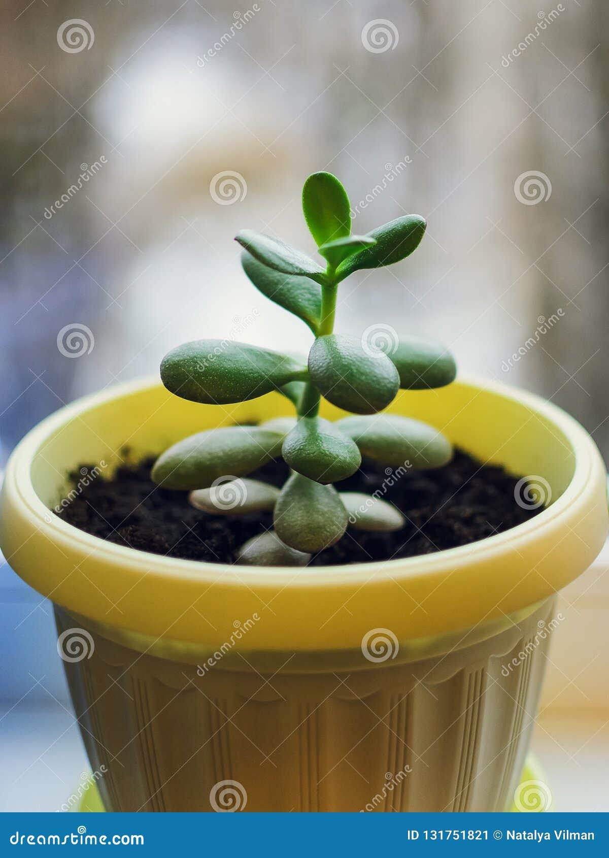 Il ovata succulente della crassula della pianta conosciuto come la pianta di soldi o di Jade Plant