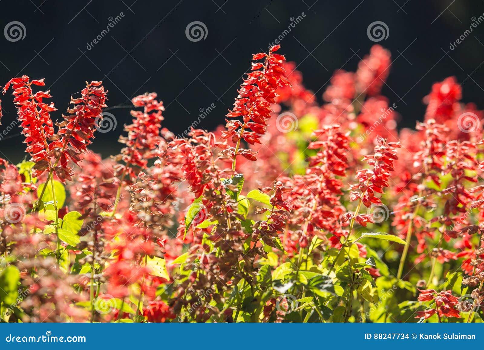 Il paesaggio di estate con i fiori rossi