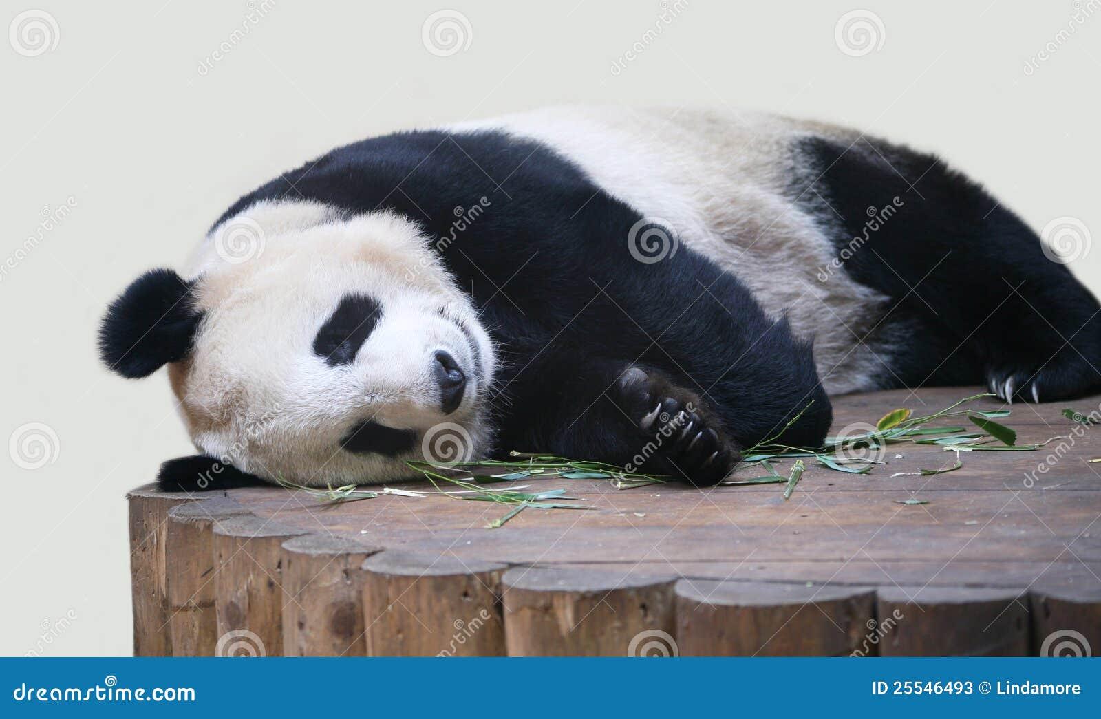 Il panda gigante che si trova gi si chiude in su for Prezzi bambu giganti