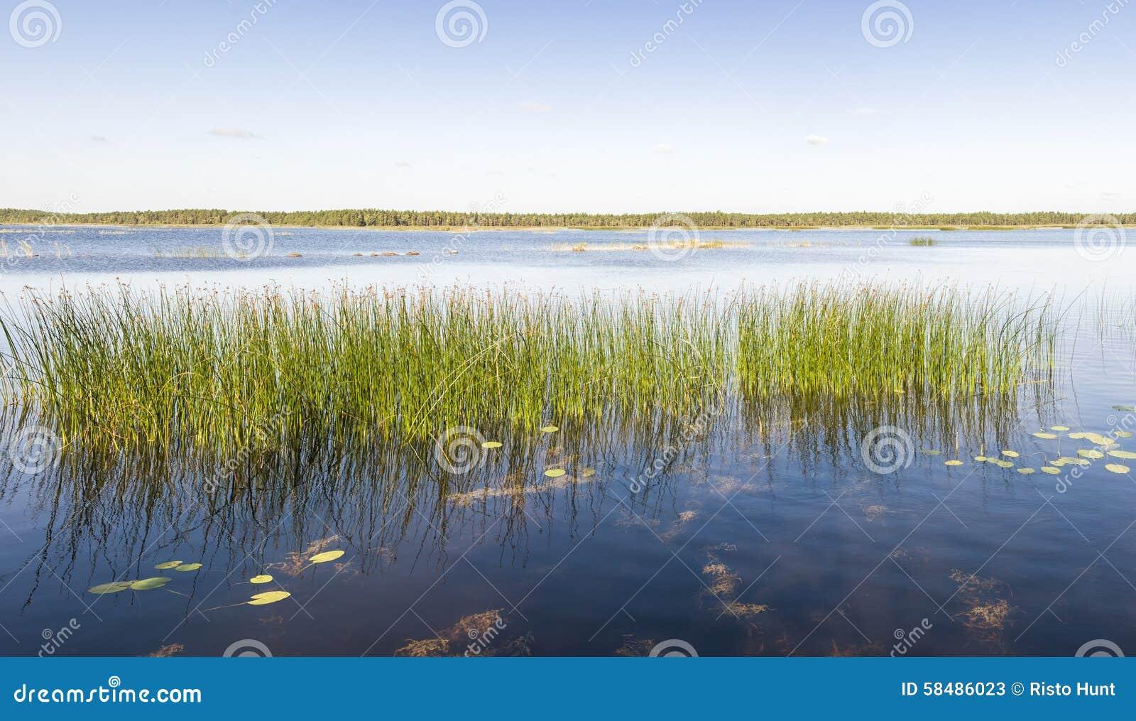 Il panorama della canna verde si sviluppa in un lago o in un mare