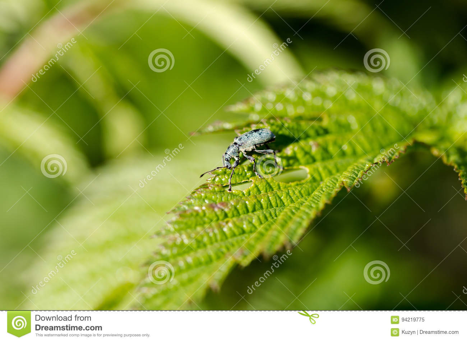 Il parassita del giardino, Otiorhynchus, mangia la foglia verde, macro