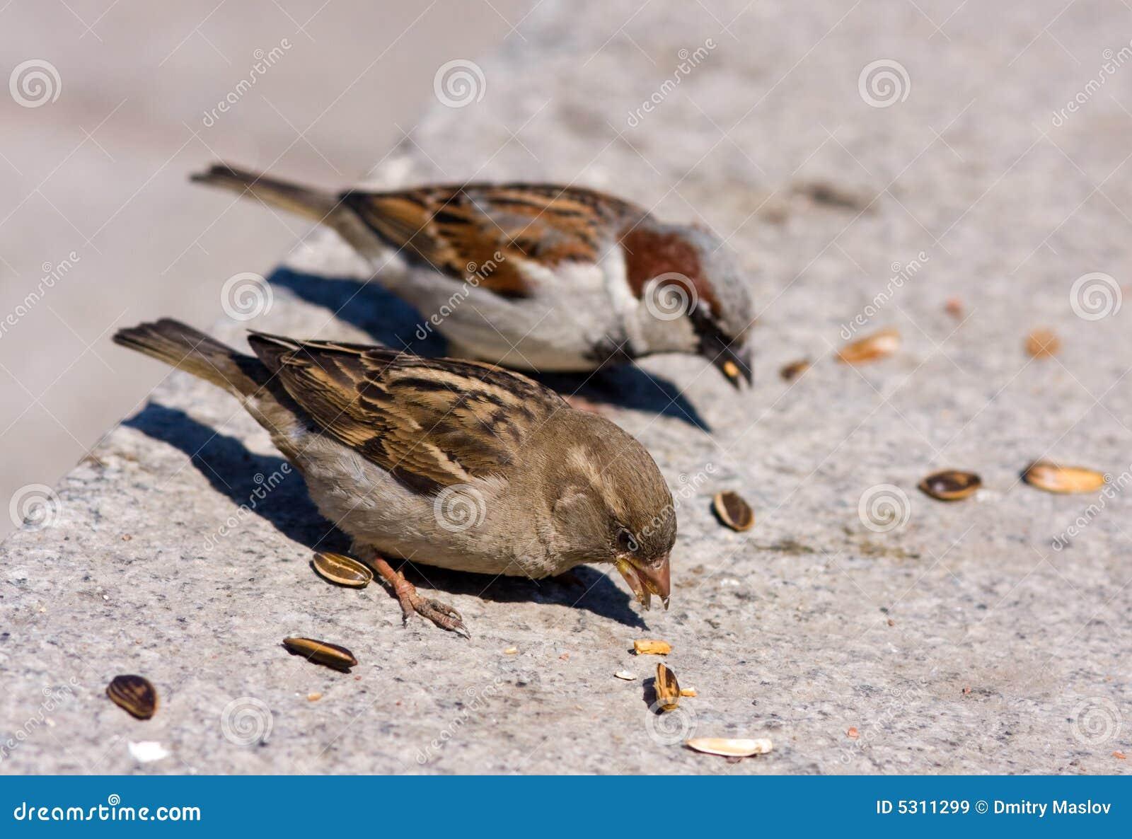 Download Il Passero Due Mangia I Semi Di Girasole Immagine Stock - Immagine di affamato, ornitologia: 5311299