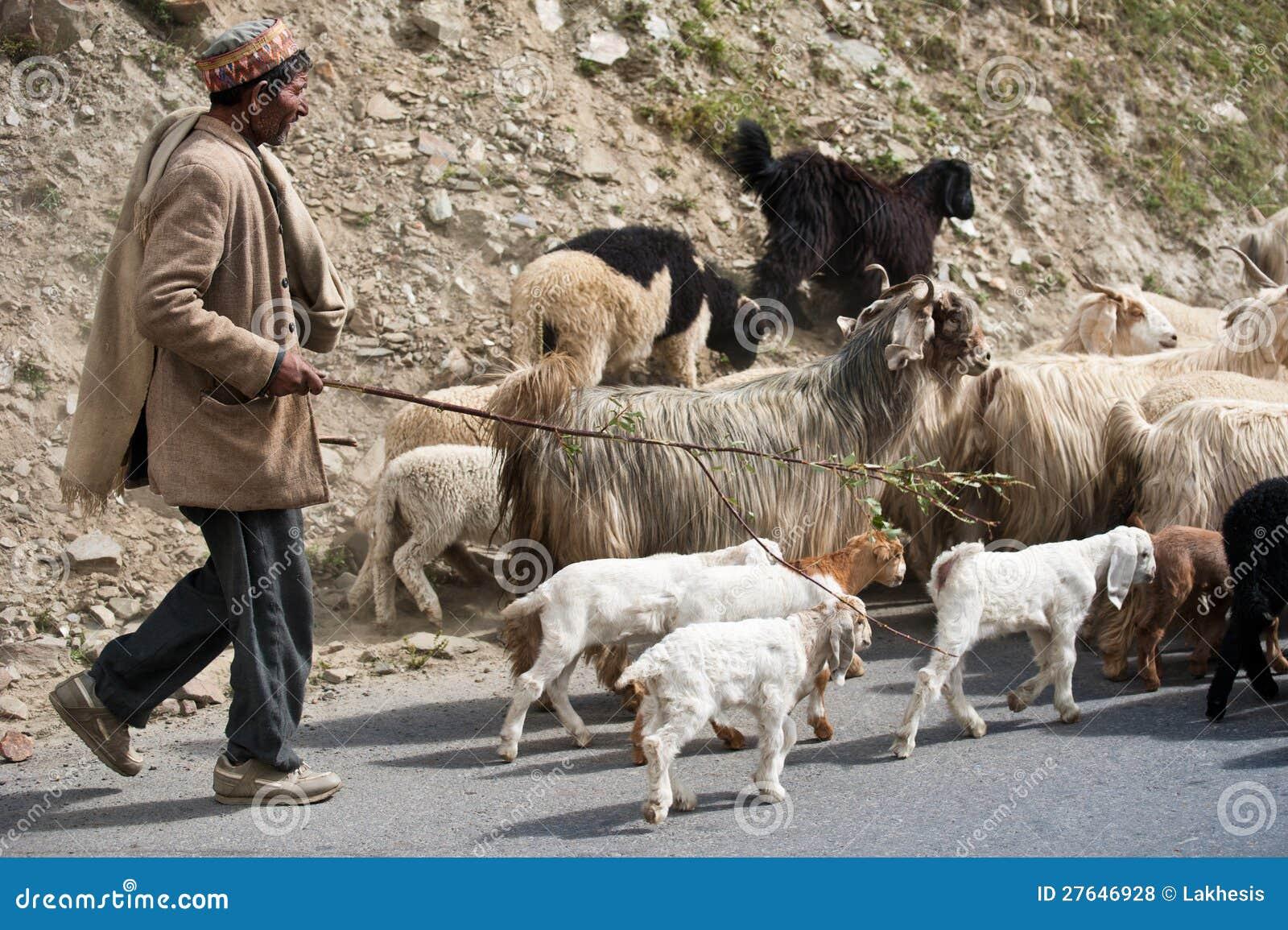 Il pastore Himalayan piombo la sua capra e le pecore si affollano