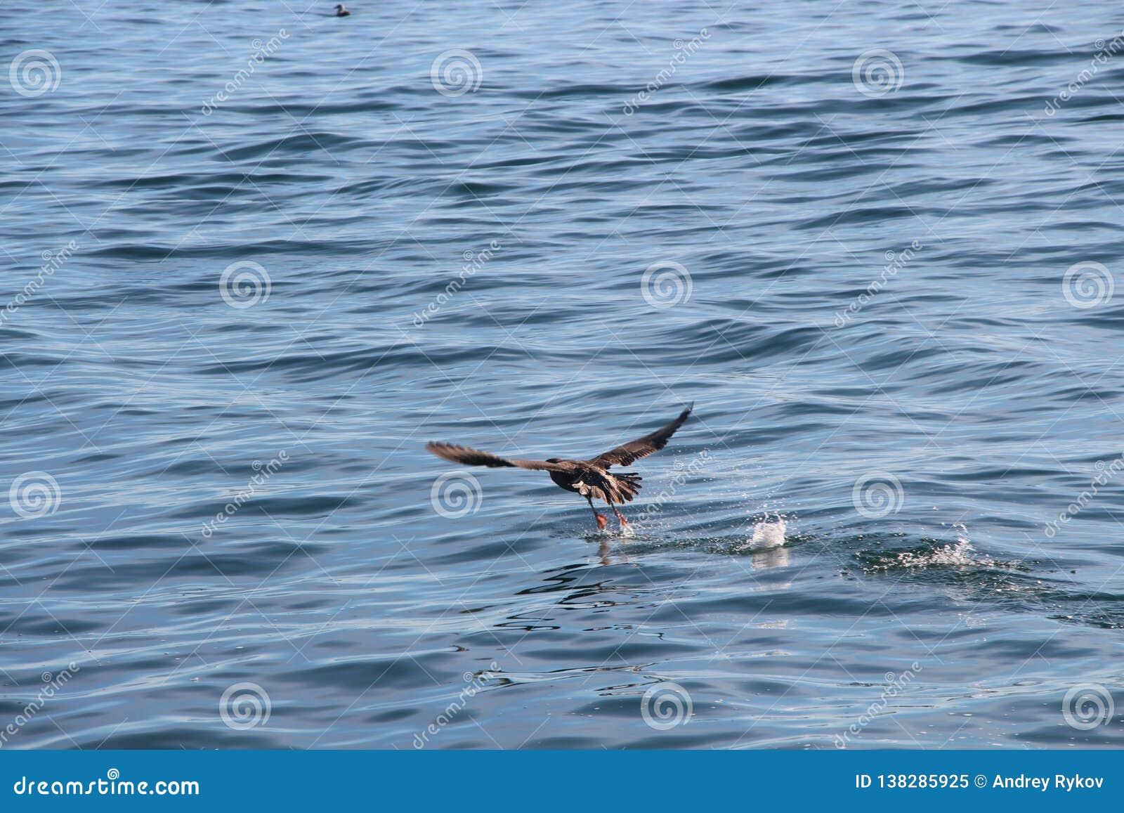 Il pelagicus pelagico del Phalacrocorax del cormorano, anche conosciuto come il cormorano di Baird, decolla dall acqua