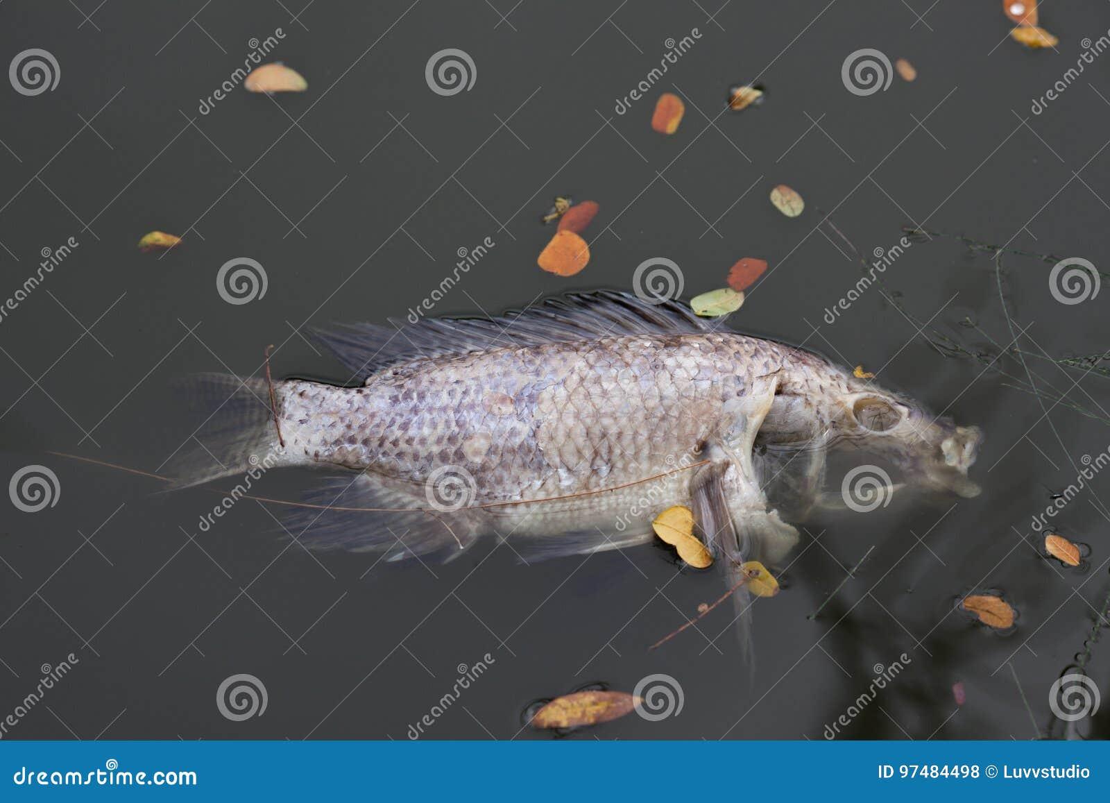 Il pesce morto e avvelenato si trova sulla sponda del fiume L impatto della e tossica